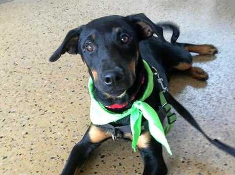 HI THERE: Levi is up for adoption through Mackay Animal Rescue Society. Phone Curtis 0437 483 409.