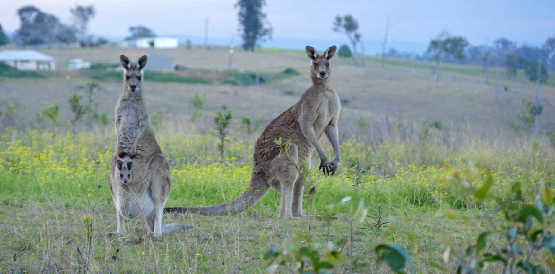 Large kangaroos like this picture near the golf course at South Grafton, have been known to attack people in the yards of their homes.
