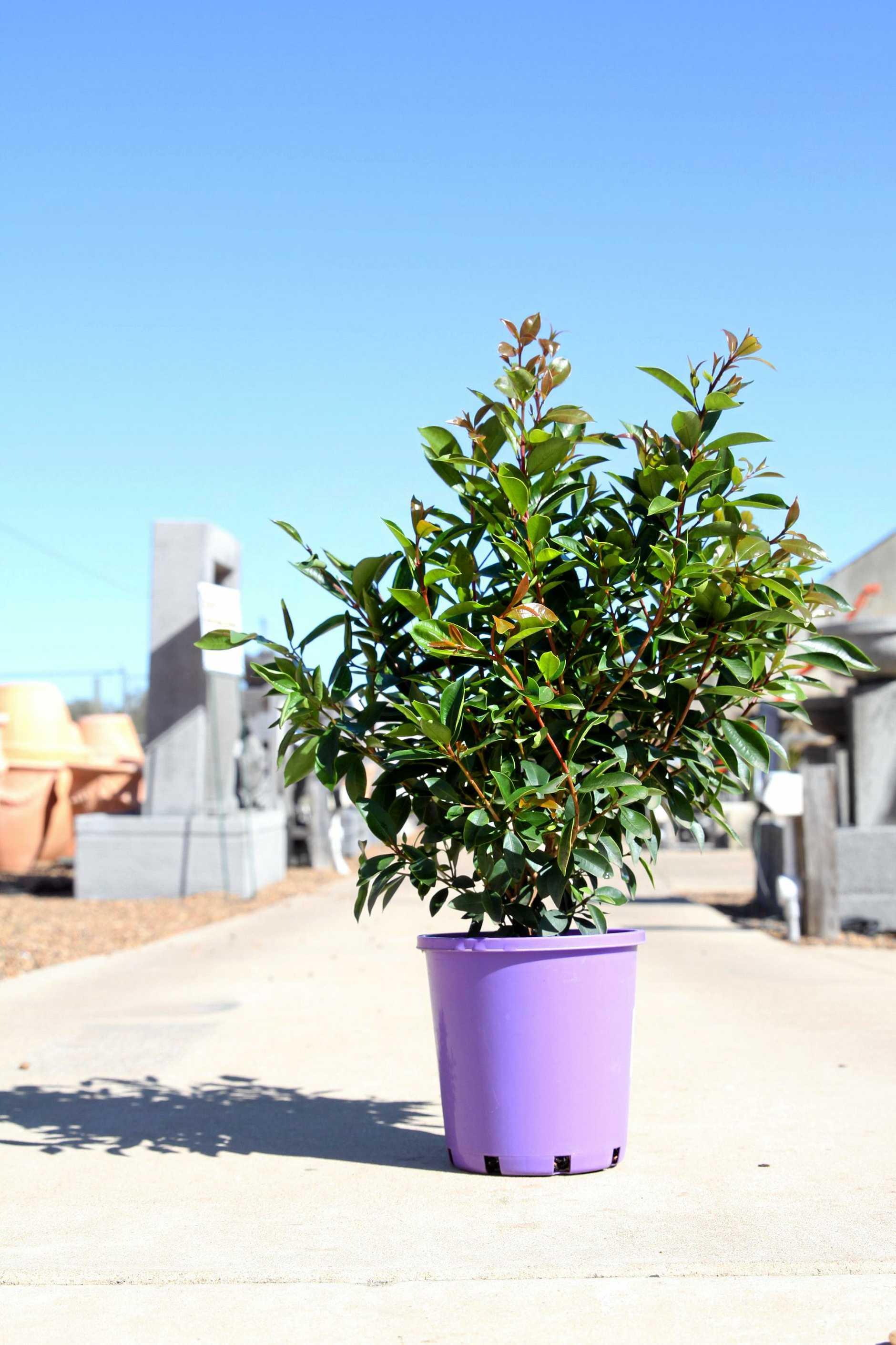 STOLEN: Lilly pillies have been stolen from Bundaberg's Landcare Nursery.