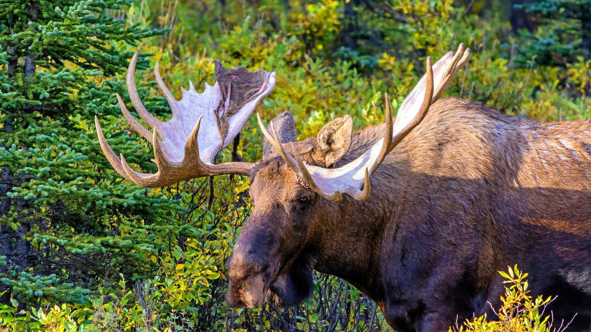 A bull moose (Alces alces) grazes on Autumn foliage in Denali National Park, Alaska.