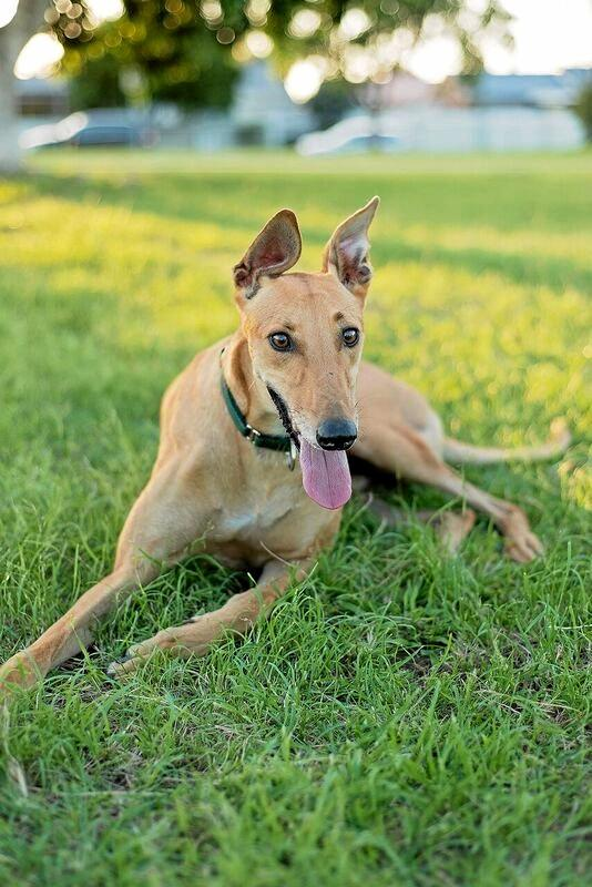 IN NEED: Carers are sought to look after greyhounds.