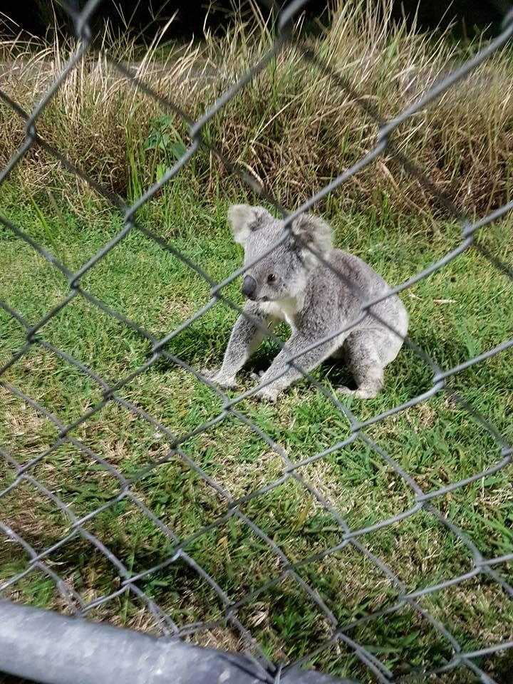 The koala behind the fence in Noosa. Photo: Noosa Lions Football Club