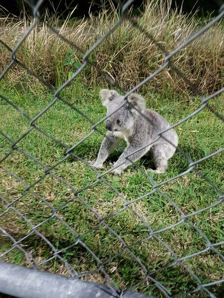 The koala behind the fence in Noosa. Photo: Noosa Lions Football Club