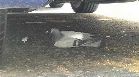 The hapless pigeon.