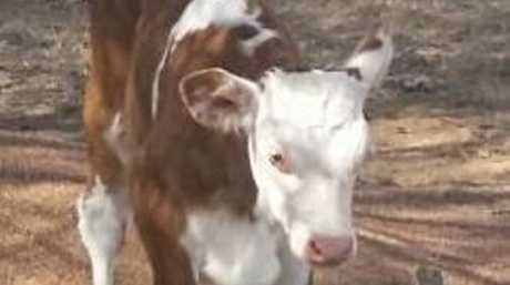 One of the calves police believe were stolen from an Atkinson Dam property.