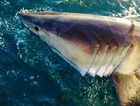 Shark nets have failed in both Lennox Head and Ballina.