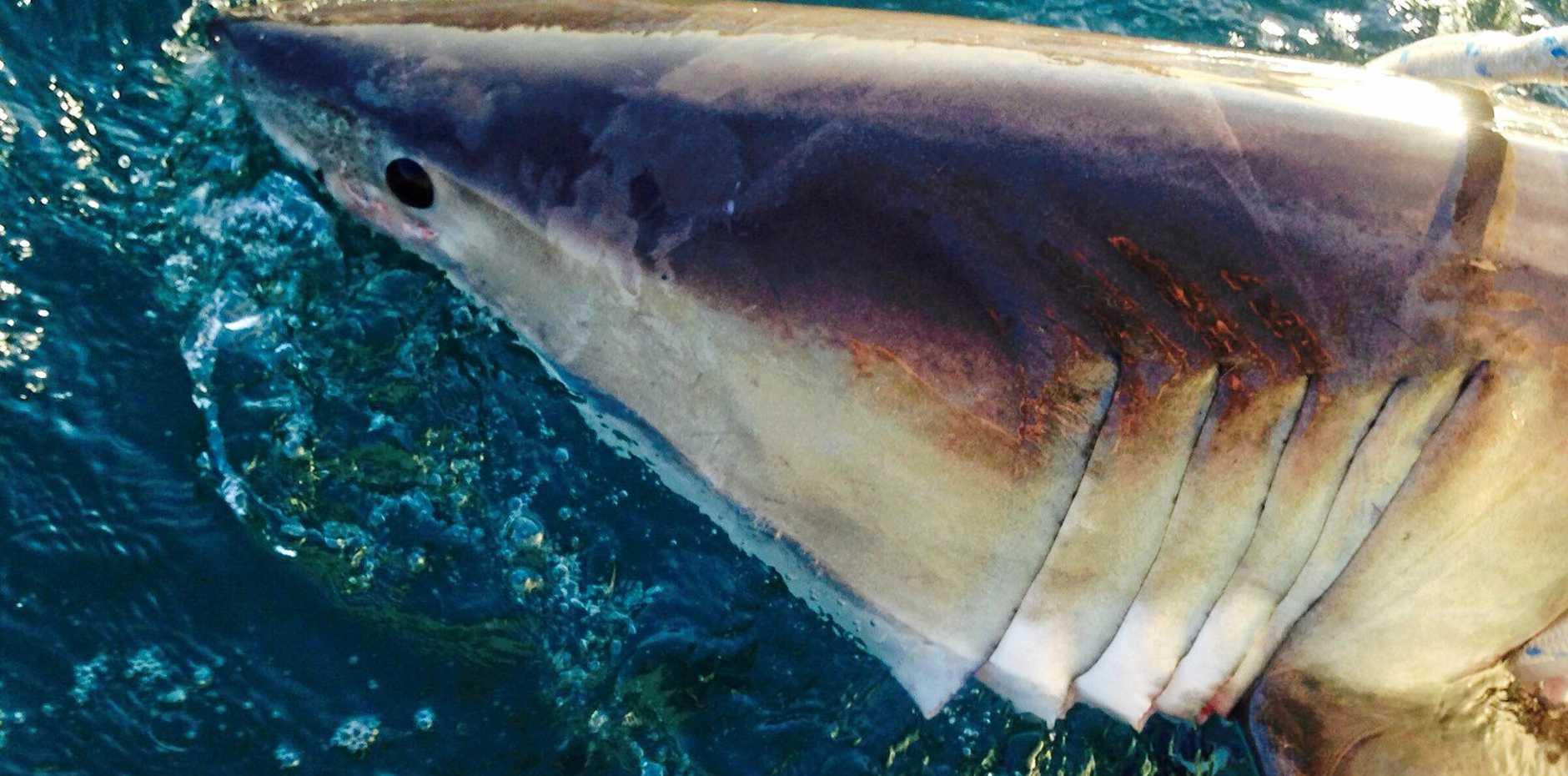 NSWDPI tagging team advise 2.14m female White Shark tagged & release Boambee Beach @ Coffs using SD tech. Shark #36