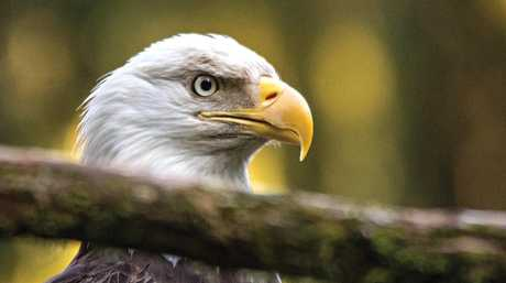 Up in the canopies of the Alaska Rainforest Sanctuary, bald eagles roam free. It was a daily occurance to see no less than a hundred in a day. In the salmon capitol of the world, food is abundant, so life is good.