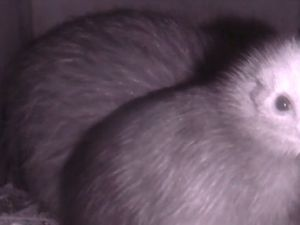 Two-week-old kiwi chick pokes its beak into the world