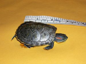 Aggressive turtles on loose spark warning