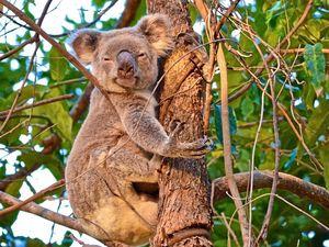 RIP Mr Cuddles: Famous Noosa koala put down