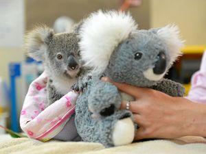 Orphaned koala joey a sad sign of Trauma Season's start