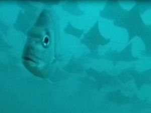 VIDEO: 'Fever' of rays photo-bomb marine research