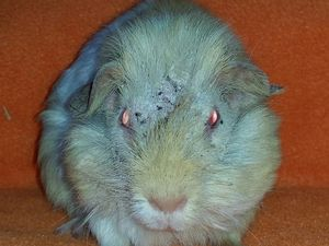 Dozens of neglected guinea pigs surrendered to refuge