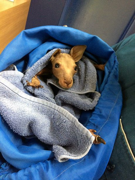 A joey became an unlikely patient for Queensland Ambulance Service paramedics after it's mother was killed in a traffic crash.