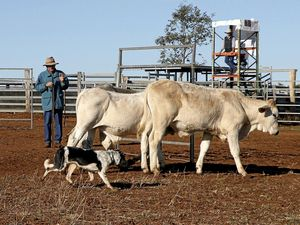 Building strong bonds with cattle dogs