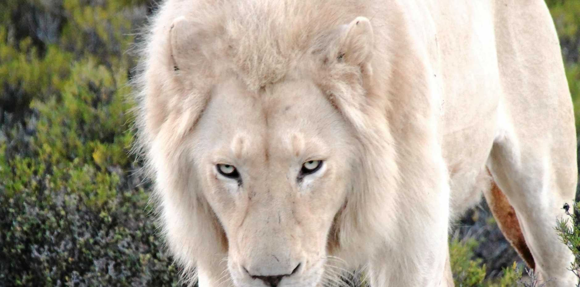 A handsome beast: the male white lion.