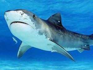 Turtles draw tiger sharks to popular Coast spot