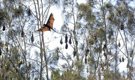 Bat colony in trees along Deebing Creek in Yamanto.