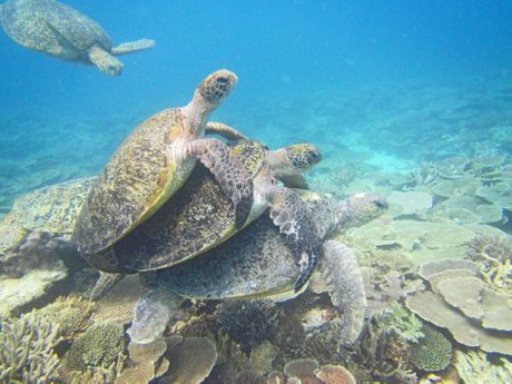 Green sea turtles during mating season.