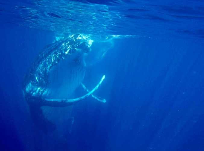 Two humpback whales say hello to two fishermen off the Coolum.