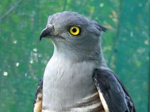 How this Baza bird survived being hit by a car