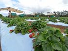 IN BREACH: A Cottonvale strawberry farm has been fined almost $70,000 for short-changing those on a 417 visa.