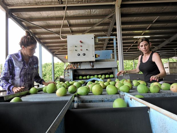 Roula (left) and Tina Skliros at work sorting mangoes as part of an early harvest of some of their trees at their Berry Springs farm.