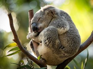 Gympie's koalas are in crisis - Bauple to host forum