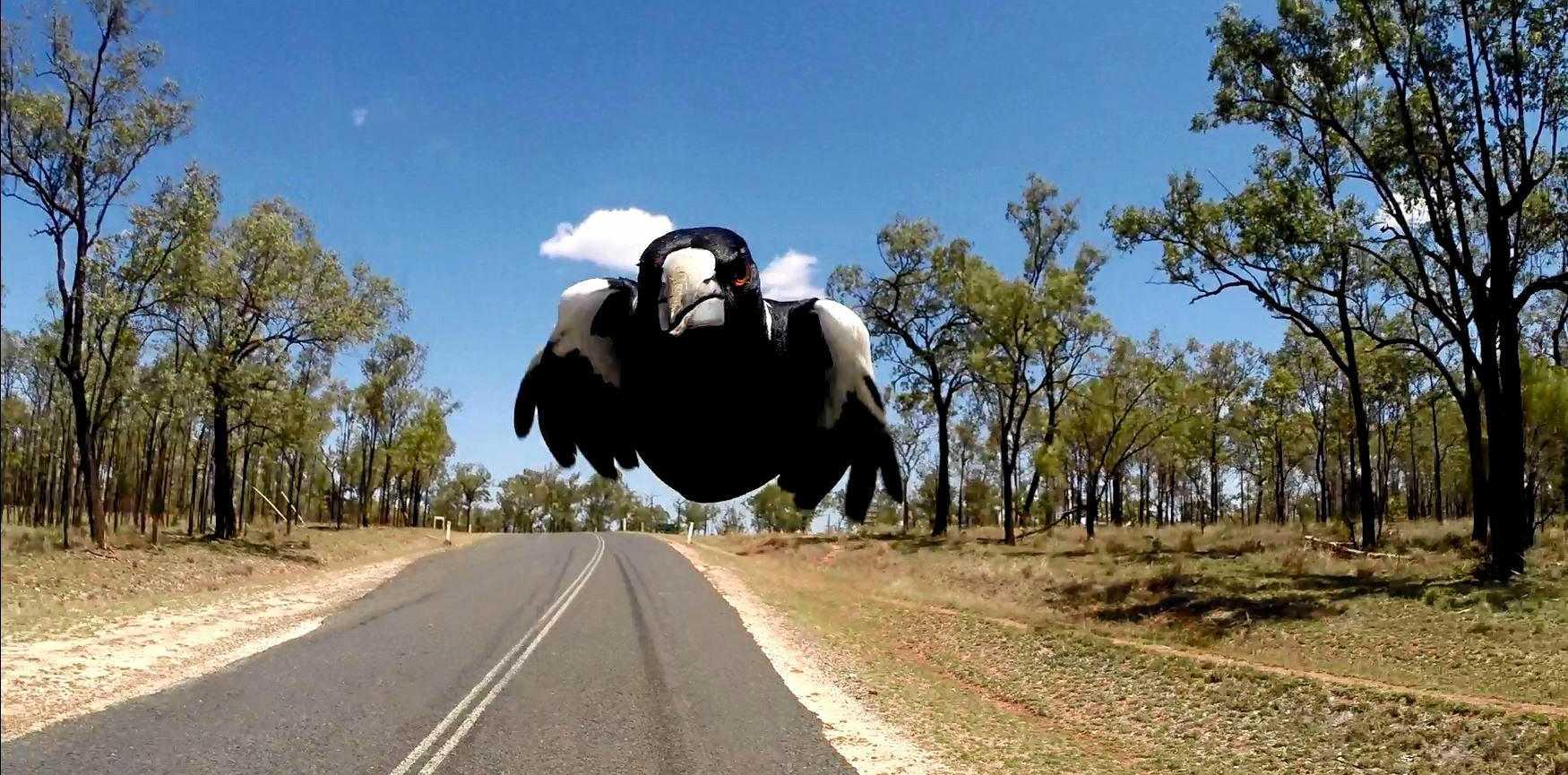 Magpie attack.