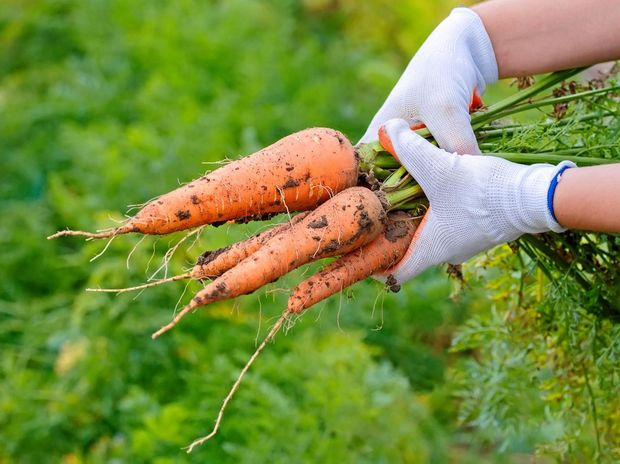 Boonah Packing Pty Ltd supplied labour to one of Australia's leading carrot producers, Scott Moffat & Co, trading as Moffatt Fresh Produce who supply carrots to major supermarket chains like Woolworths and Aldi.