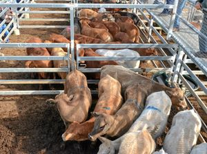 Weaners hit 450c/kg at Roma
