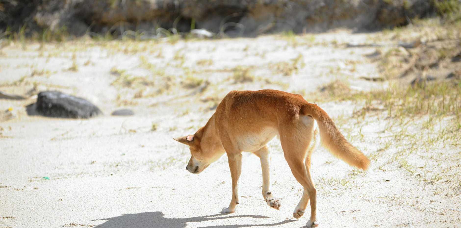 Dingoes on the eastern beach of Fraser Island.