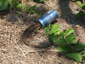FRASER ISLAND: Image released of lizard trapped in beer can