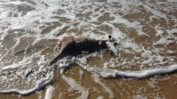 KILLED: A kangaroo has reportedly been killed by two dogs on a Coast beach this morning.