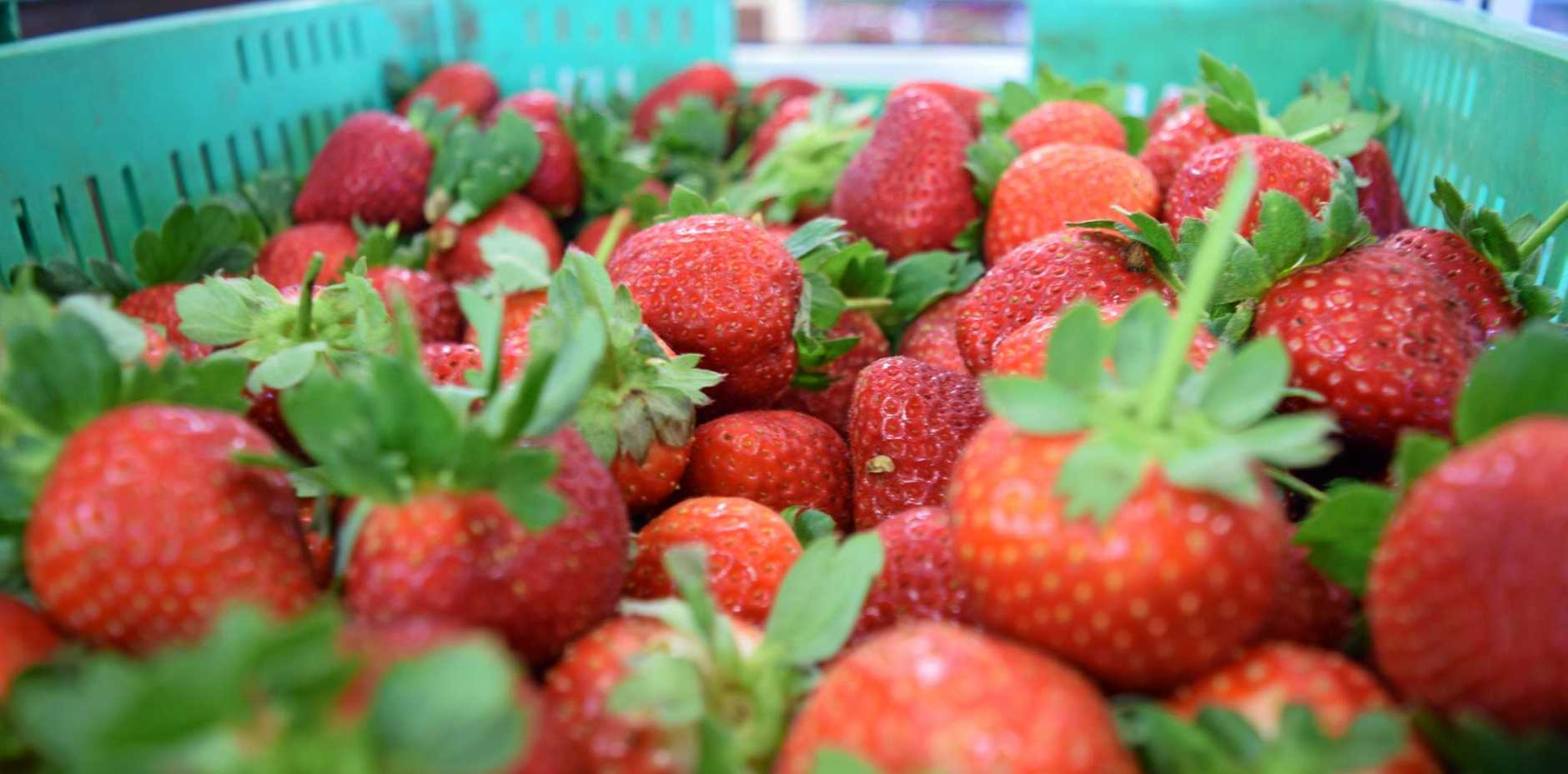 HARVEST TIME: Freshly picked strawberries at the SSS Strawberries packing shed.
