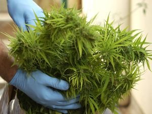 Six marijuana plants for 'personal use'