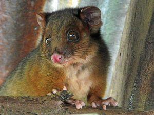 """Possum dies after """"fire"""" around power pole"""