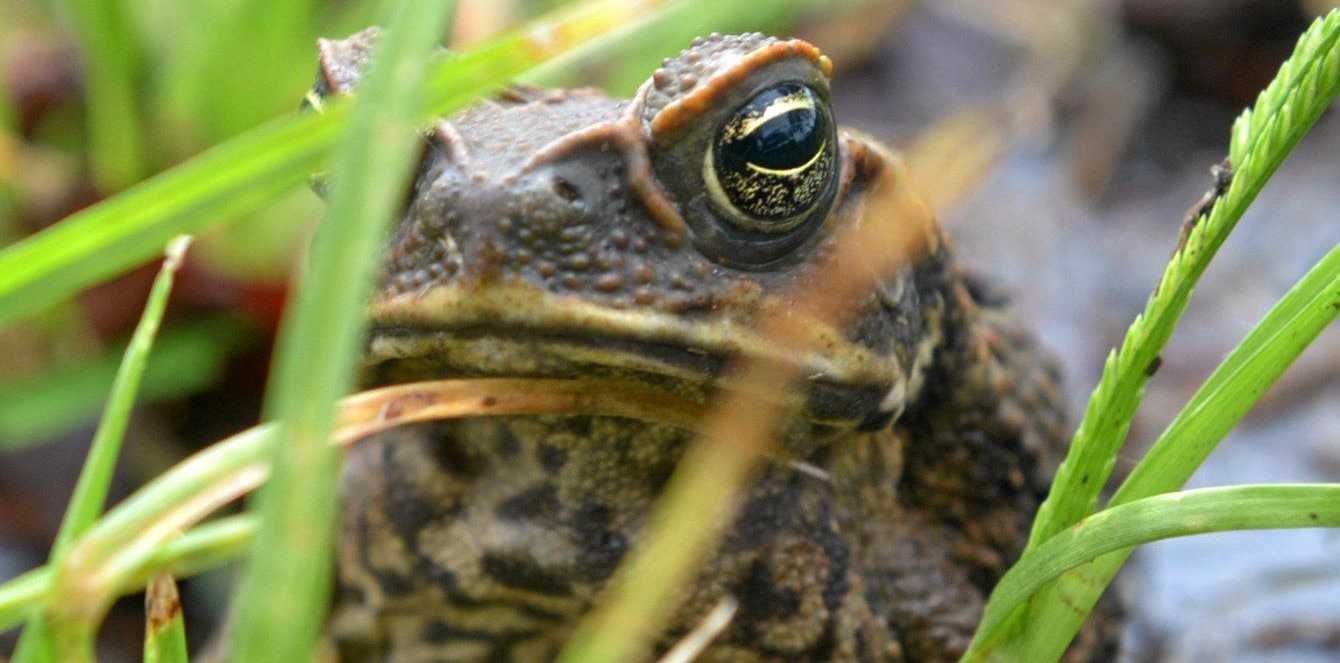 HOPPING MAD: Queensland cane toad. Photo: Max Fleet / NewsMail