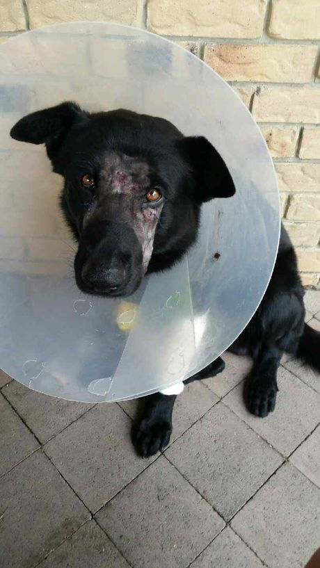 Injured police dog Bravo after receiving treatment for severe injuries. He was attacked by another dog during an arrest.