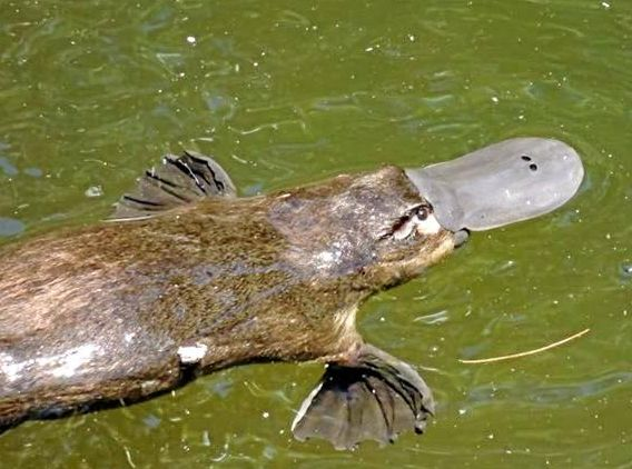 Mackay Tourism are working on a plan in the hope of attracting national and international tourists to the region and to attractions like the platypus at Eungella.