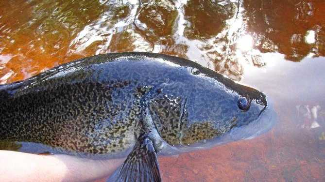 KEEPING IT CLEAN: Mary River wildlife enthusiasts are welcome to take part in the river's Catchment Crawl today and tomorrow, helping keep the river healthy enough for this endangered mary river cod.