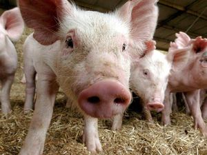 EPA issues $15,000 fine to local piggery