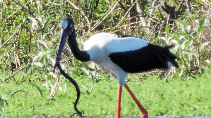 SNAP:Jabiru at Casino wetlands with dinner.