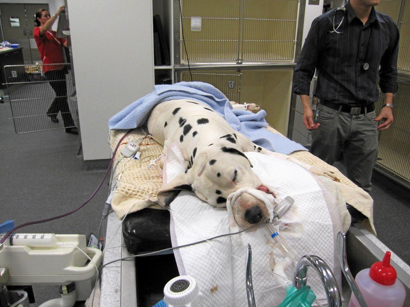 A Dalmatian with advanced tick paralysis is mechanically ventilated.