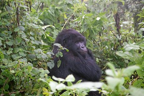 QLD151115GORILLA02: The mountain gorilla family, known as Susa, in Rwanda. Photo: Rae Wilson