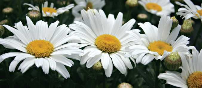 Daisy May grows about 25cm tall and produces large white daisy flowers.