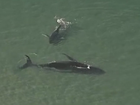 Whale on sandbank as calf stays close.