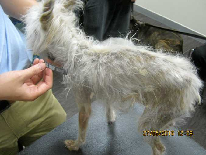 UNDERWEIGHT: Fe, a Chinese crested powder puff dog, is now in good health.