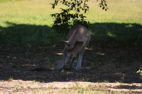 Wildlife carers are working to capture this Eastern Grey Kangaroo, which was shot with an arrow in Tannum Sands.